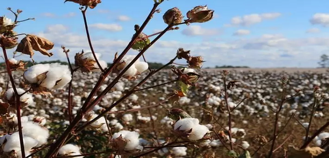 About 97% of 2017-18 cotton crop reached market: CAI